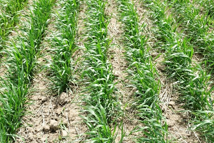 wheat plants lime 90 lb P