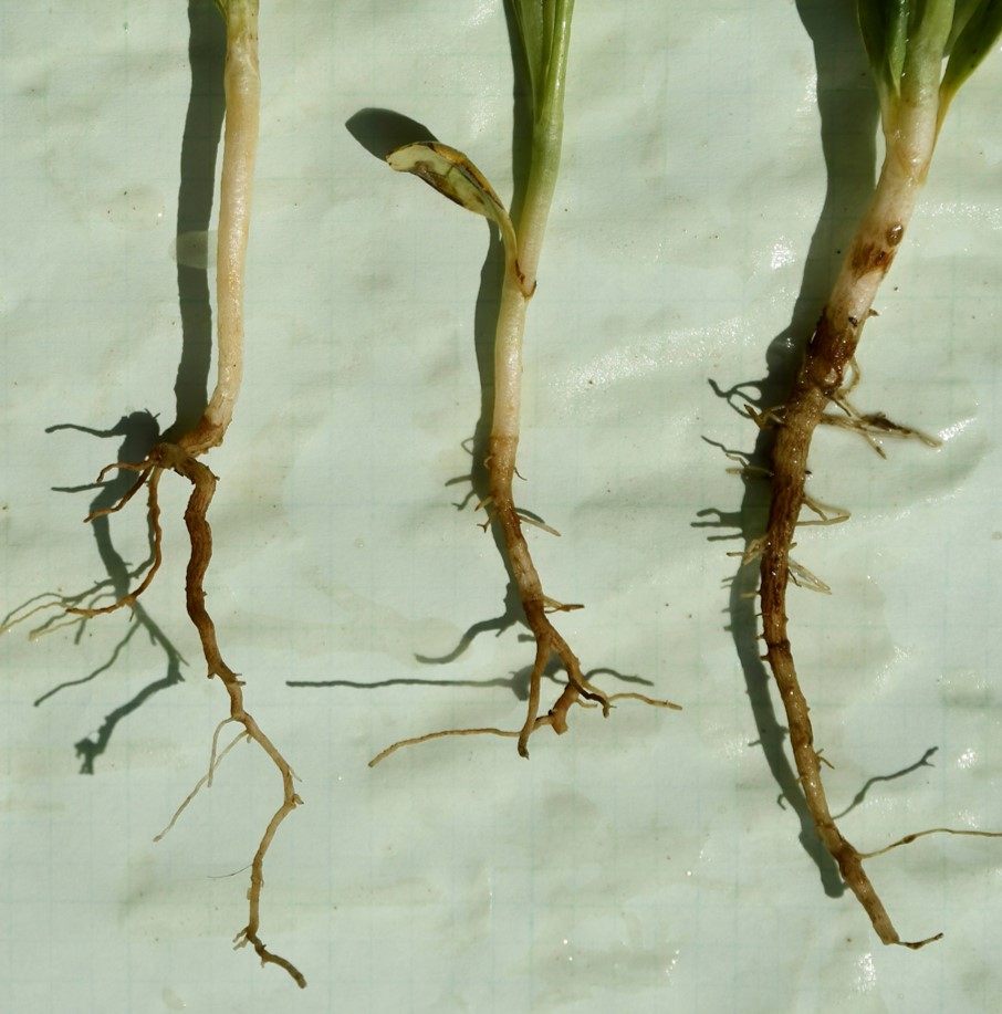 Figure 4. Safflower roots stunted by Al