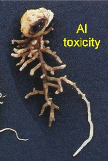 Figure 4. pea root stunted by Al toxicity