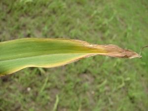 K deficient corn leaf tip, image by IPNI