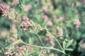 K deficient alfalfa flower