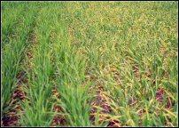 K deficient barley field on right, image by IPNI