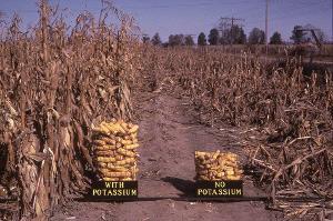 K deficient mature corn harvest on right