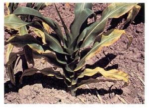 K deficient corn plant, image by PPI