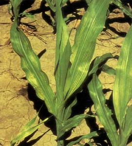 Fe deficient corn plant