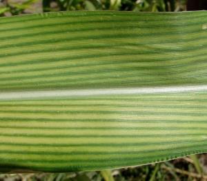 Fe deficient corn leaf