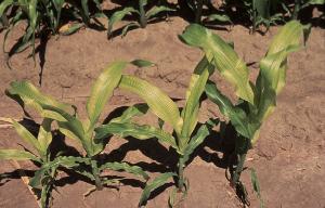 Fe deficient corn plants