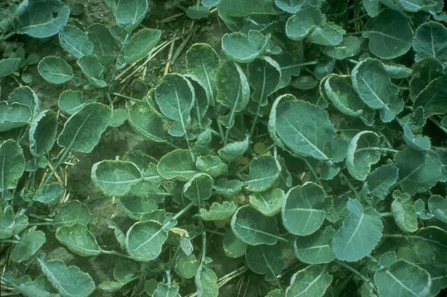 Sulfur Deficiency - MSU Extension Soil Fertility | Montana