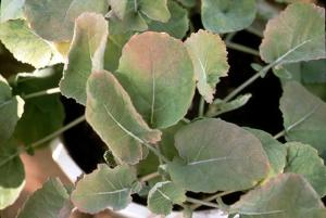 S deficient canola seedlings