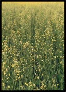 S deficient canola field in flower